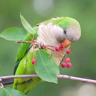 I once had a Quaker parrot named Kiwi. It talked some and loved to play in a dish of water.