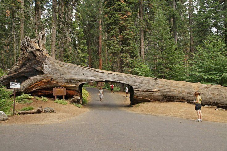 Tunnel Log in Sequoia National Park, USA