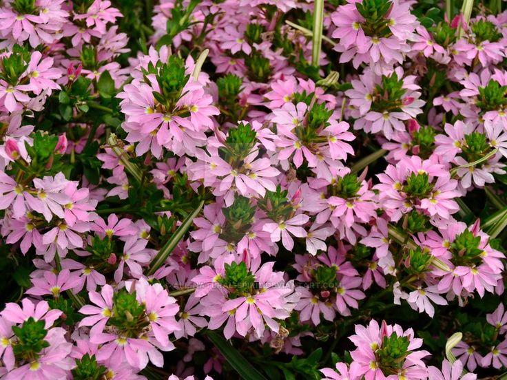 Fairy Fan Flower by All-Natural-Spirit.deviantart.com on @DeviantArt