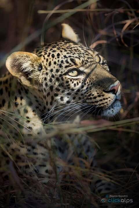 Mejores 11 imágenes de leopardo en Pinterest   Grandes felinos ...