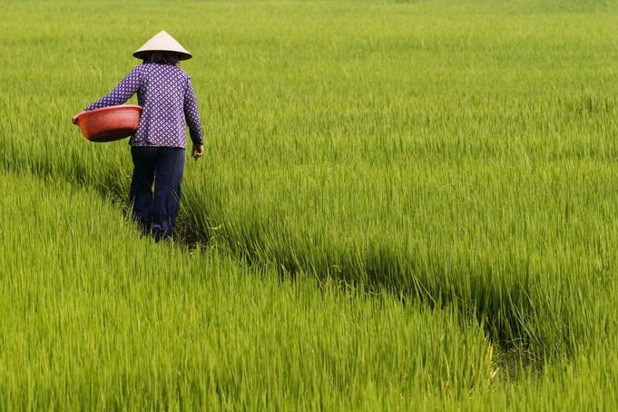 Rice Fields in Vietnam:  http://www.lonelyplanet.com/vietnam/images/rice-field-vietnam$26713-9