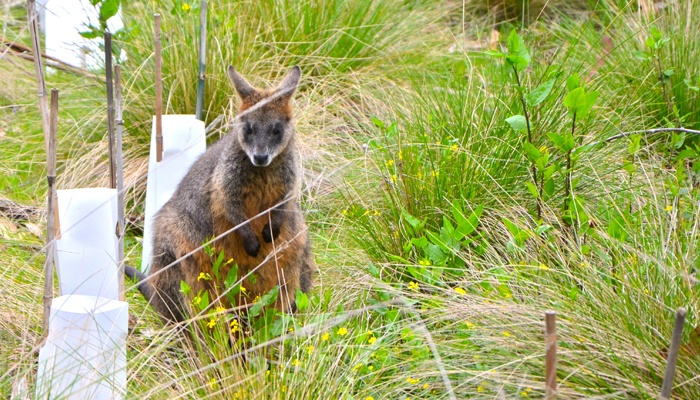 Wallaby at the Port Phillip Island Koala conservation centre