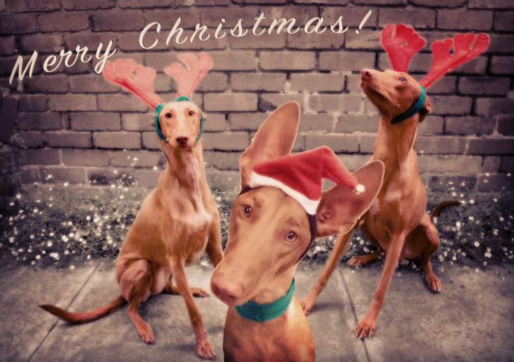 Merry Christmas from my 3 Redheads.   L-R; Lulu, Qairo & Taboo.  ❤️❤️❤️