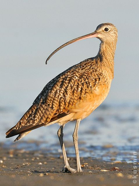 Long-billed curlew (Numenius americanus) |