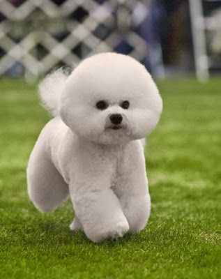 Bichon frise! Love these dogs! Look like teddy bears!! Want one!