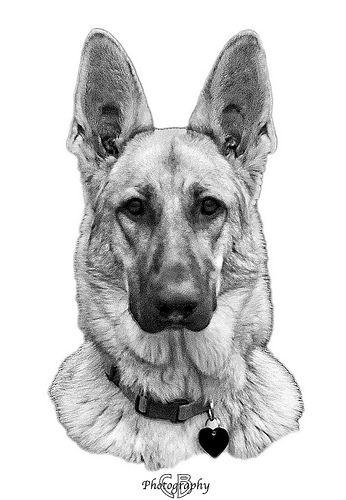 German Shepherd Dog Tattoo Sketch photo - 1