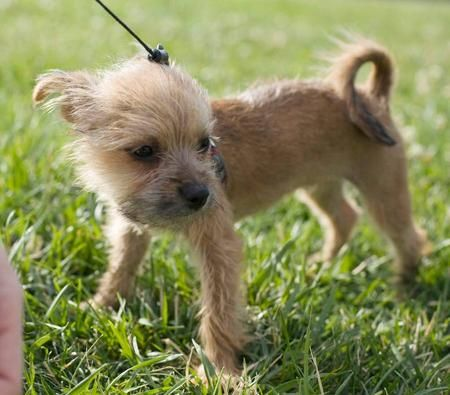 Napoleon The Carin Terrier Mix Pups To Luv Terrier Mix