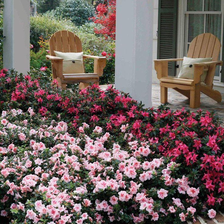 Zugabe Azalee 3 Gallone. Autumn Belle Encore Azalea Shrub mit Bicolor Pinkish White und Magenta Reblooming Flowers-80643