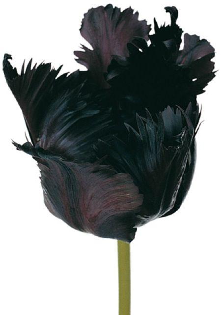 Hybridation fleur en plumes                                                                                                                                                                                 Plus