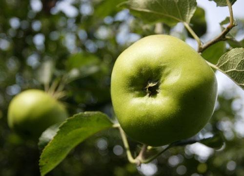 Bramley Apple, Southwell, Nottinghamshire