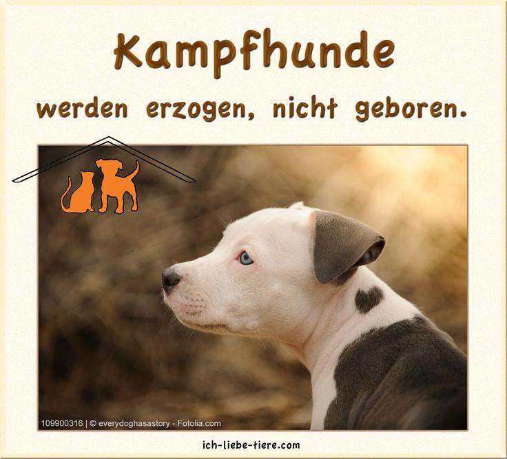 Kampfhunde werden erzogen, nicht geboren. http://www.ich-liebe-tiere.com/