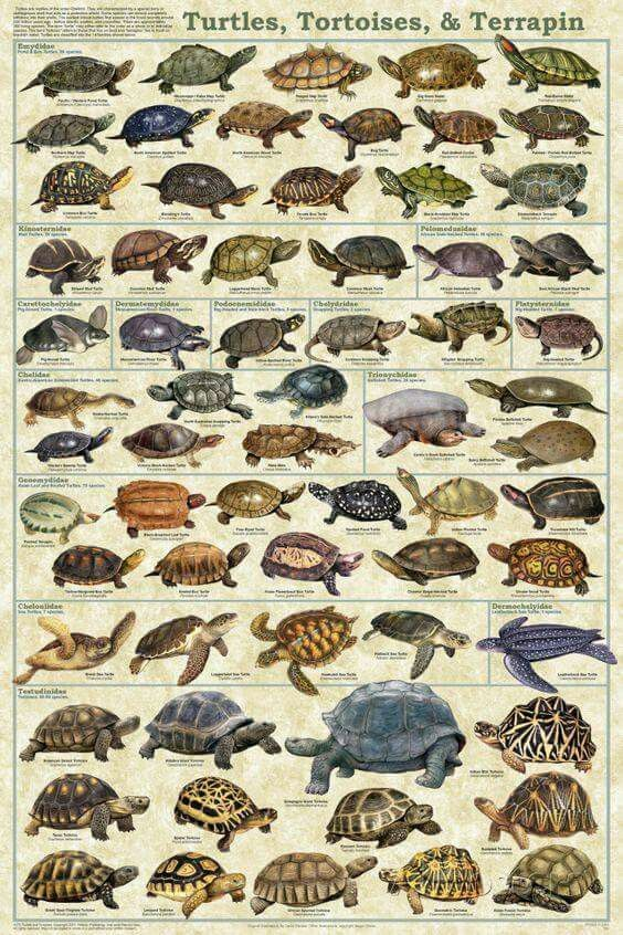 a description of different types of tortoises and their natural habitat