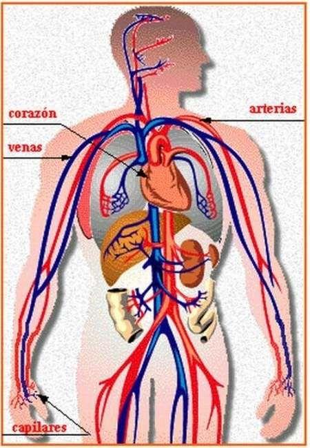Órganos del aparato circulatorio.