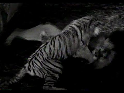 Perkelahian Singa Harimau Sampai Mati Pertarungan Hewan Buas Vide Hertranew