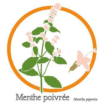 Dessin de la plante et des fleurs de Menthe poivrée - Plante médicinale, faciliter la digestion.