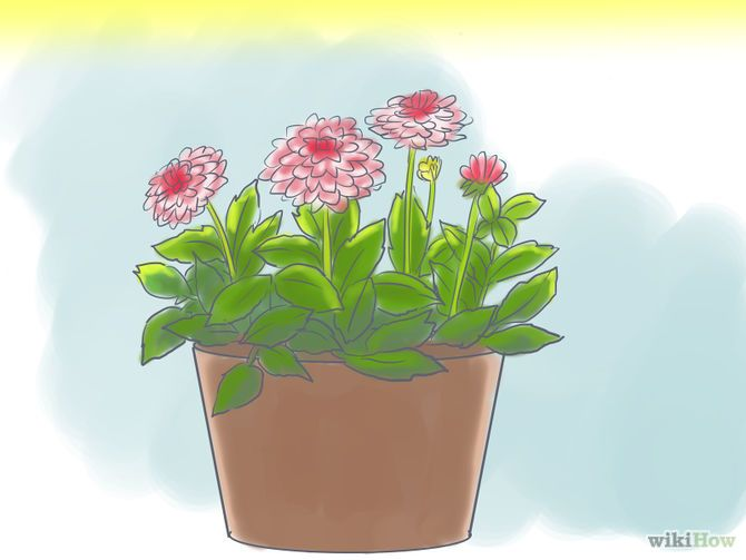 How to Grow Dahlias in Pots Step