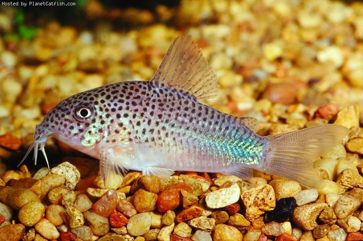 Corydoras similis smudge spot cory 2 5 peaceful cory for Peaceful freshwater fish