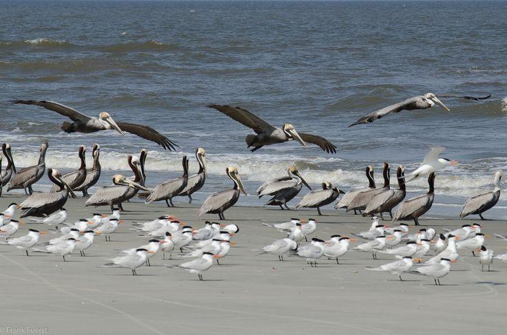 Terns and Pelicans - Little St. Simons Island, Georgia