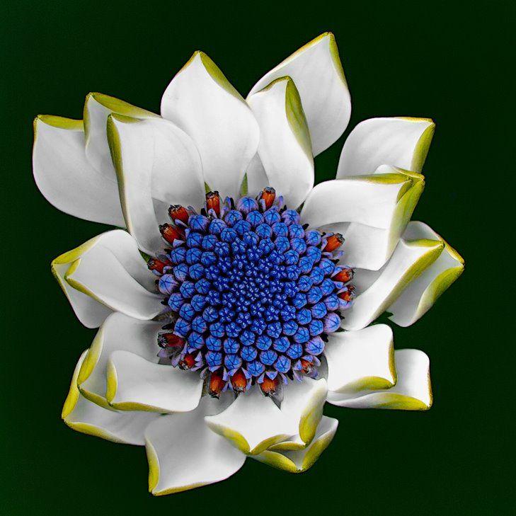 Osteospermum ecklonis or African Daisy Blue Eye starts blooming.