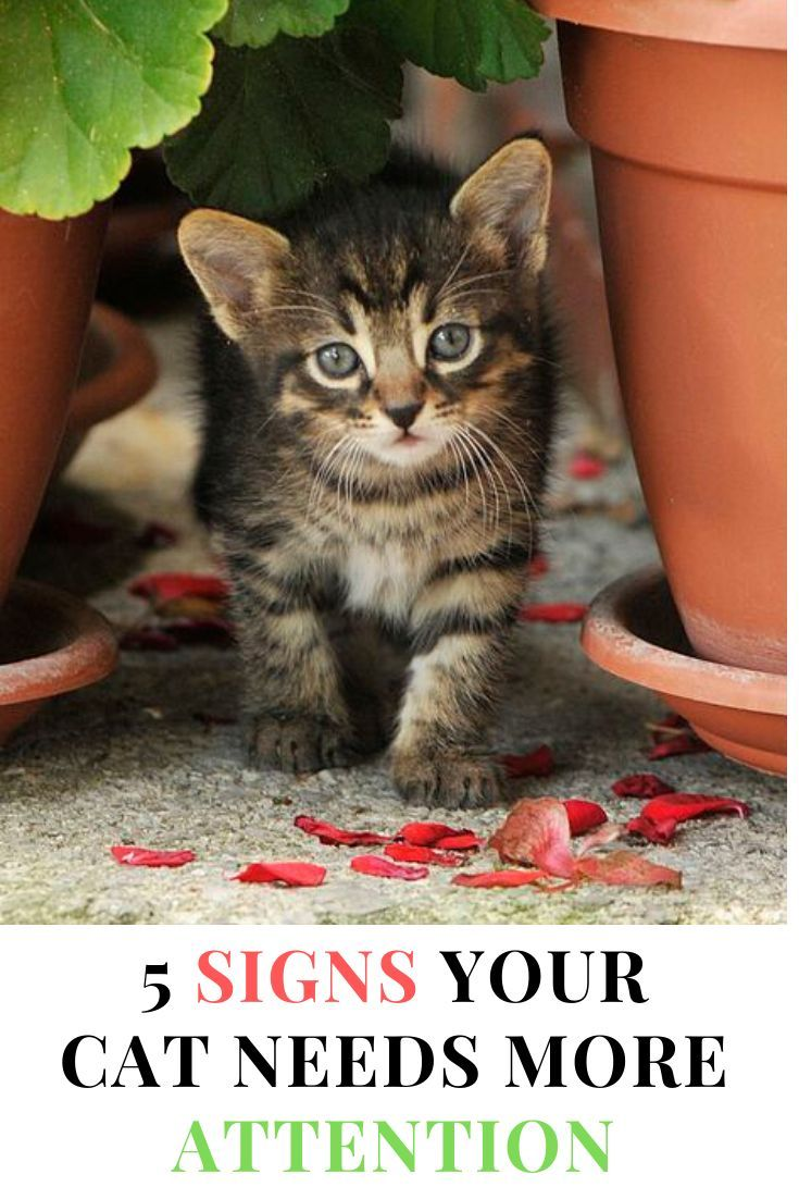 Signs Your Cat Needs More Attention In 2020 Cats Cat Advice Cat Care Tips