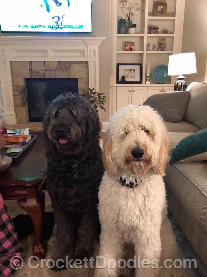To Find Out More About The Crockett Doodles Program And Our Puppies Please Visit Www Crockettdoodles Com Crockettdoodl Doodle Puppy Puppies Labradoodle Puppy