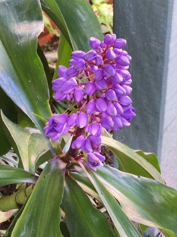 Native Ginger plant.