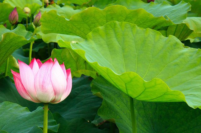 lotus3 by Johnny Vagabond -- Around the World, via Flickr