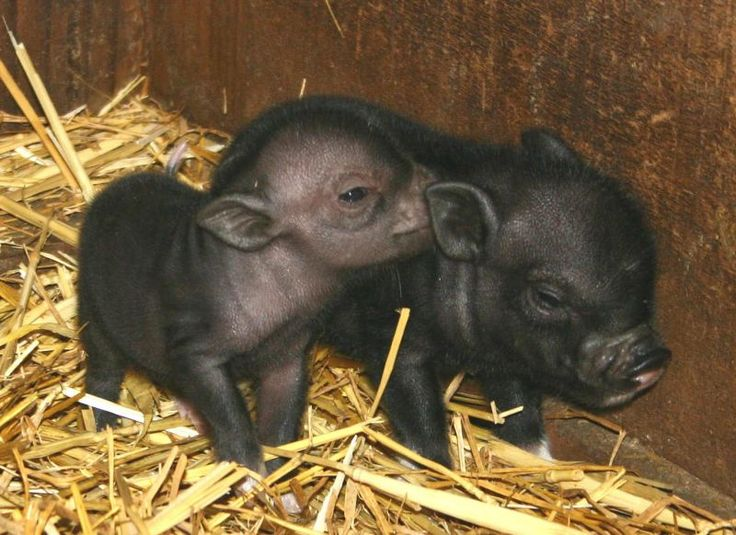 Pot Bellied Pigs - Lifespan and Care of