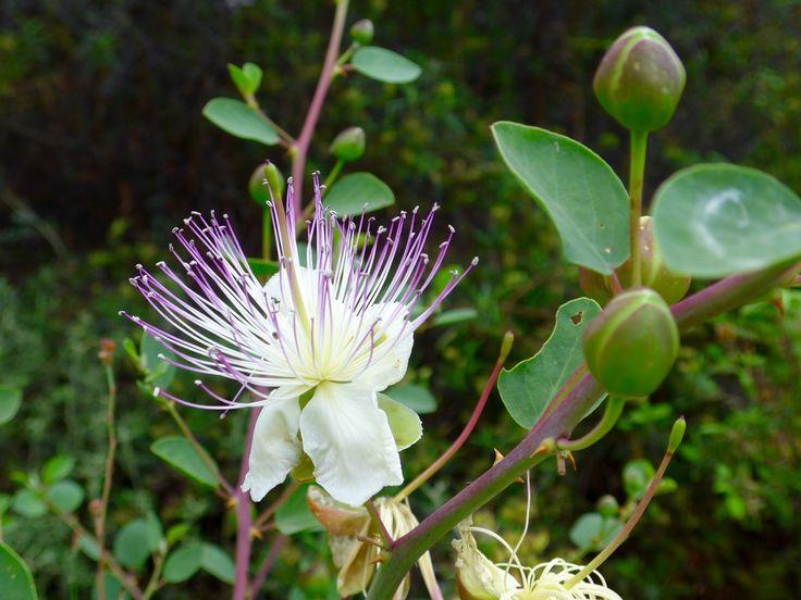 Cyprus 2014, flower of the caper bush.