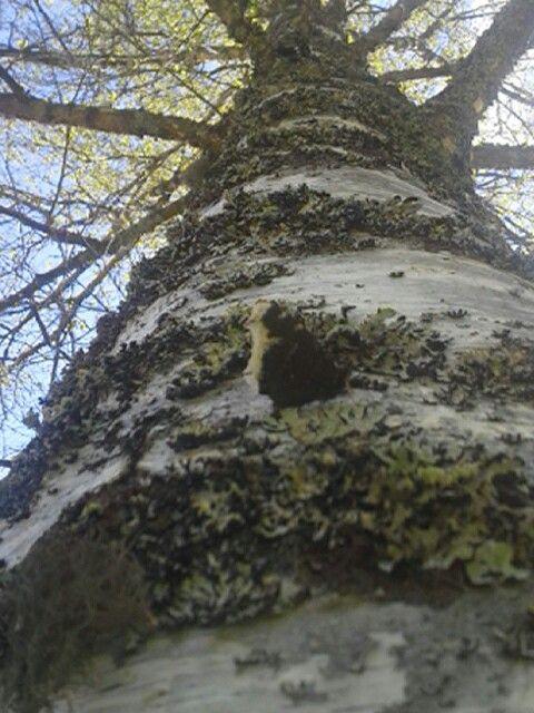 Suruvaippa perhonen on liikkeellä näihin aikoihin kesällä