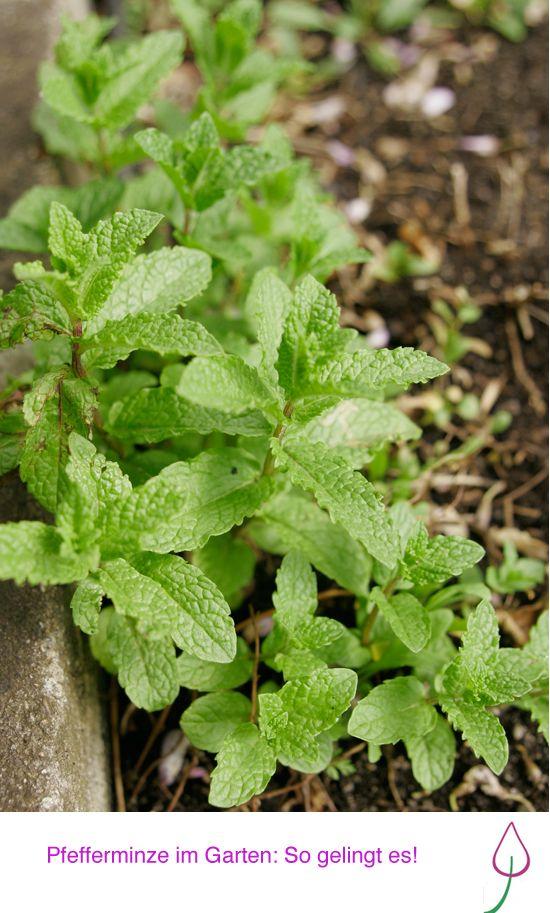 Pfefferminze pflanzen, ernten, trocknen und Tipps für Rezepte