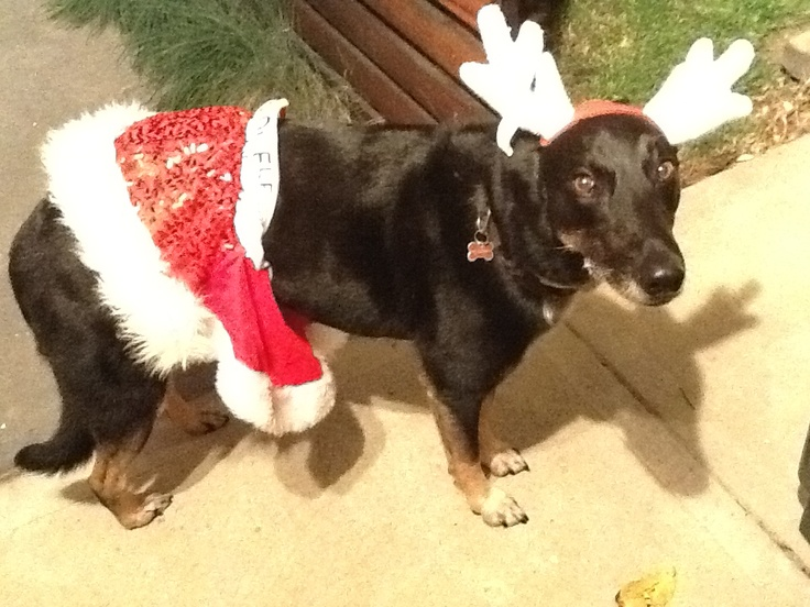 Tilly dogs Christmas outfit. Made from The Base warehouse Santa hats. Antlers are from RSPCA online shop.