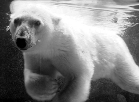Google Image Result for http://planetoddity.com/wp-content/uploads/2010/12/polar-bear-photo.jpg