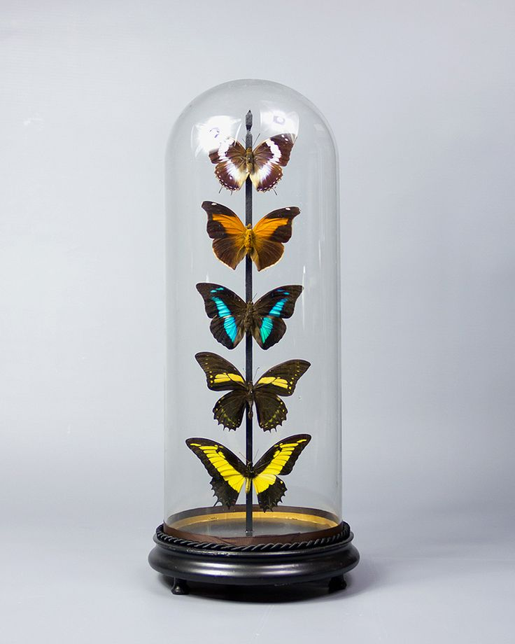 Victorian Glass Dome Display from Ayre & Co.