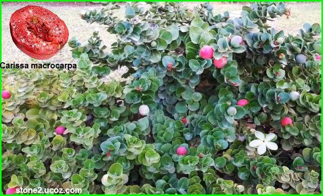 انواع فاكهة كاريس Carissa قائمة الفواكهة النبات معلومات نباتية وسمكية معلوماتية Plants Karis