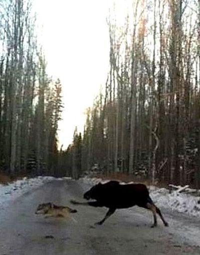 Moose chasing wolf!