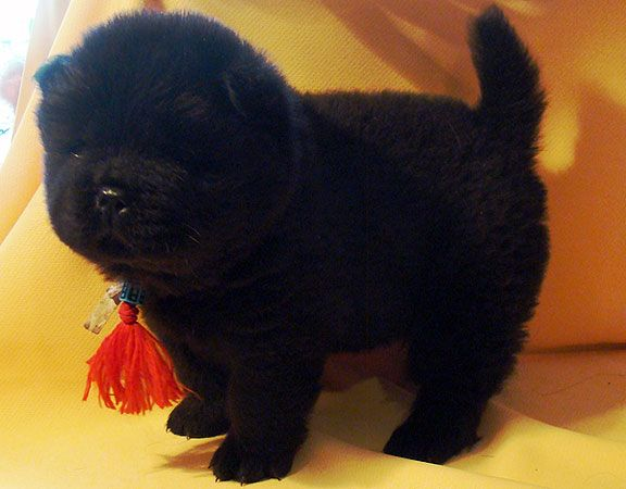 Cute Little Black Chow Chow Puppy