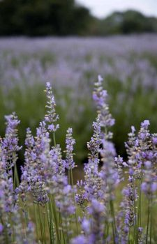 Texas Lavender Trail: A field of Provence lavender, shot at the Villa Texas Lavender Farm between Fredericksburg and Kerrville, Texas in 200...