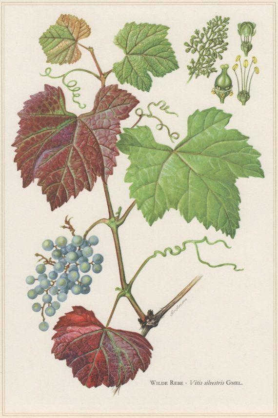 1960 Vintage Botanical Print Vitis sylvestris Wild by Craftissimo
