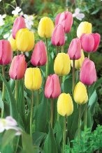 Pink Lemonade Mix Tulip