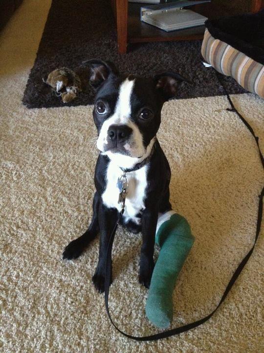 broken leg: Broken Legs, Boxers Puppies, Legs Pup, Really Funny, Poor Guys, My Friends,  Boston Terriers, So Sad, Poor Baby