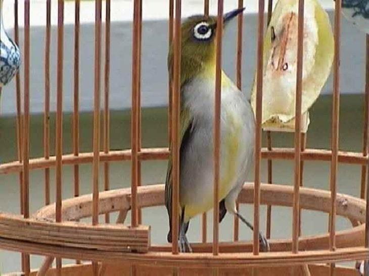 Mengetahui Cara Menganalisa Penyakit Burung Berdasarkan Kotorannya Jalak Burung Warna