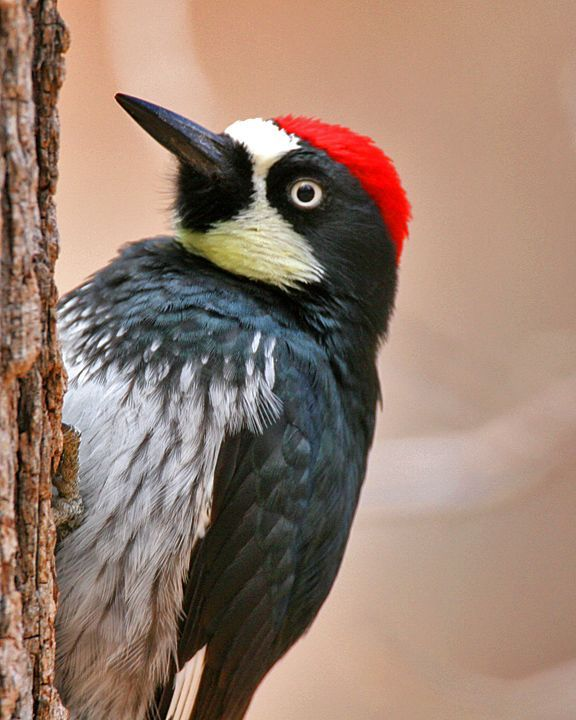 What to see in Pescadero  Natural attractions  Woodpeckers