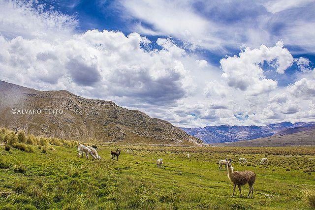 Alpacas Chapacoco, Orcopampa - Arequipa | Flickr: Intercambio de fotos