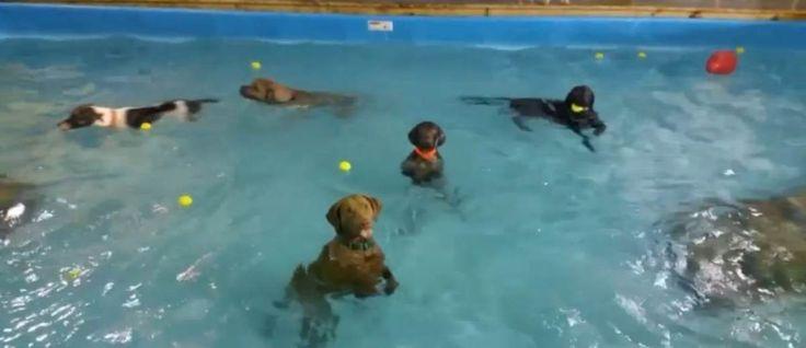 Het personeel van Happy Tails Resort in Norfolk, Virginia hebben overweldigende reacties gekregen na het delen van een video van hun opvanghonden die heerlijk aan het zwemmen zijn, behalve één hond. #ChesapeakeBayRetriever #poolparty