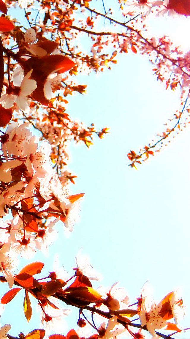 Cherry blossoms #iPhone #5s #Wallpaper
