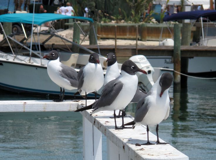Laughing gulls in Settlement Creek, Green Turtle Cay, Abaco, Bahamas.