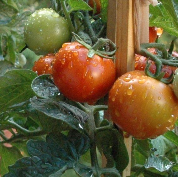 meine tomaten auf dem balkon pflanzen pinterest. Black Bedroom Furniture Sets. Home Design Ideas