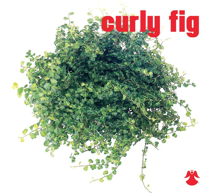 Ficus Curly Fig. Ficus Pumila (aka creeping fig or climbing fig) is a species of flowering plant in the family Moraceae, native to East Asia.