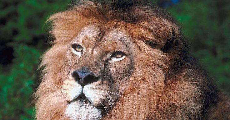 Datos interesantes sobre leones y animales. Los leones, una de las especies de mayor tamaño de felinos vivos hoy en día, están clasificados como grandes felinos, lo que significa que tienen la capacidad de rugir, pero carecen de la habilidad para ronronear como hacen los gatos domésticos. Históricamente su gama incluye África, Asia y Europa, pero hoy en día sólo se encuentran en el África ...